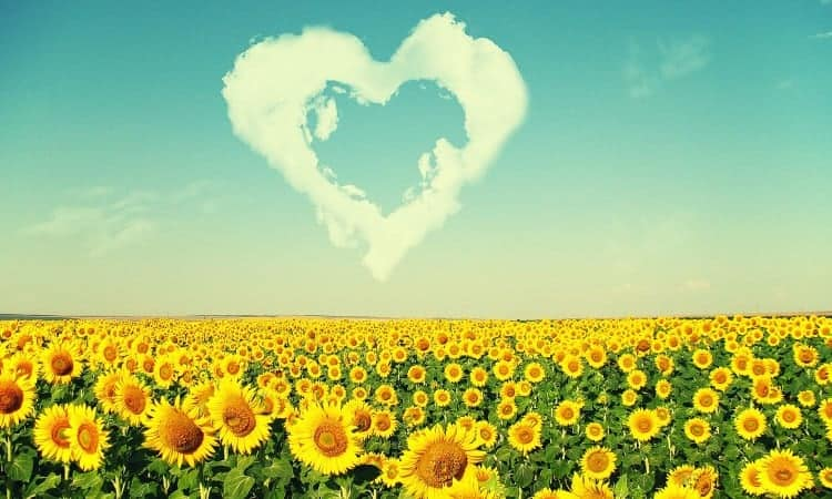 sunflowers_love